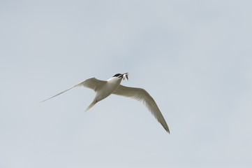Sandwich Tern in flight.