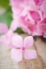 Closeup of a fallen pink hydrangea flower on wooden table