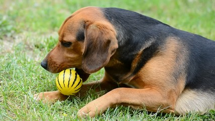 Cute lying brown Beagle is playing with yellow ball.