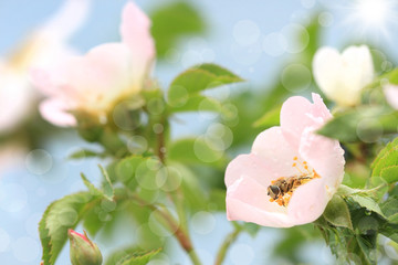 bee on a flower of wild rose