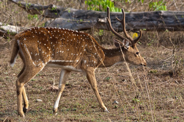Axis Stag in India