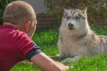 Man playing with his dog. Siberian Husky
