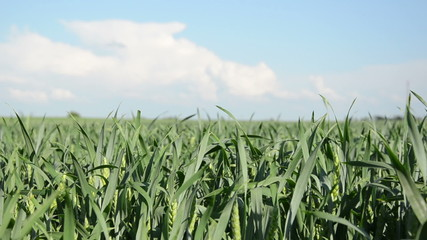 young green corn sways nice in the wind on blue sky background