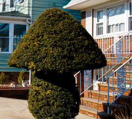 bush trimmed in the shape of a mushroom, summertime