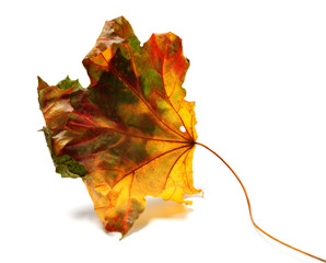 Dry autumn maple-leaf
