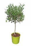 olivier taillé en boule en pot