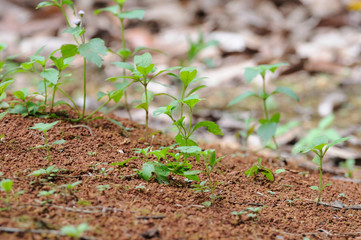 Green plants on clay ground.
