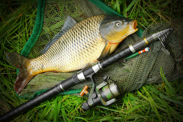 Catching fish. The Common Carp (Cyprinus Carpio).