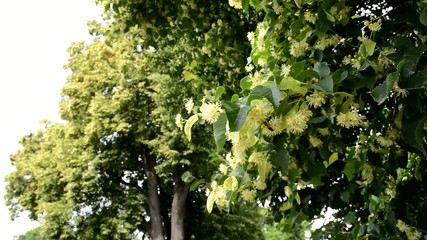 Blossoms Of Linden Tree With Bee,zoom in