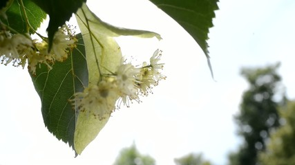Detail Of Linden Blossoms With A Spider,rack focus