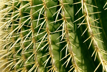 Closeup of golden barrel cactus