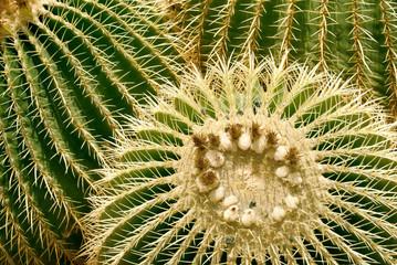 Barrel cactus closeup