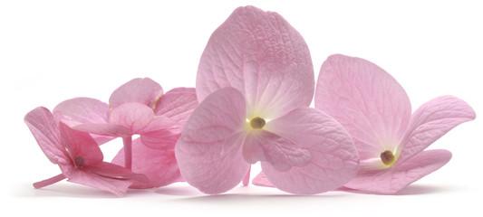 Hydrangea Hortensien アジサイ属 Ortensia Гортензия