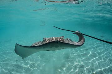 Tahitian Stingray 1