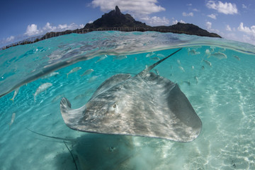 Stingray in Bora Bora 1