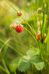 Ripe berries of field strawberry