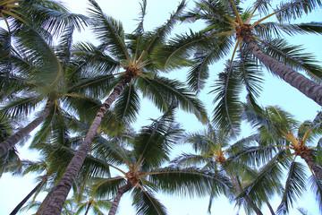 ワイキキのヤシの木 ハワイ