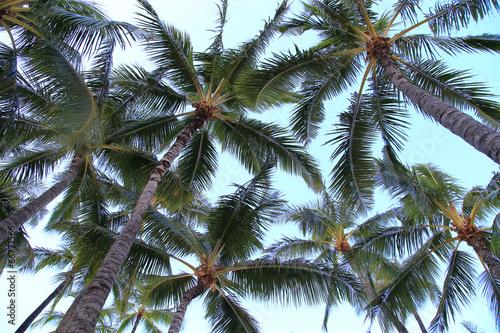 Poster Palm boom ワイキキのヤシの木 ハワイ