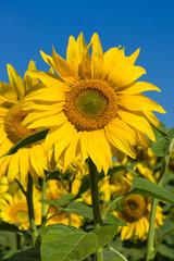 Sunflower field over blue sky, Ukraine