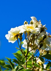 Plants of white climbing rose  against blue sky.