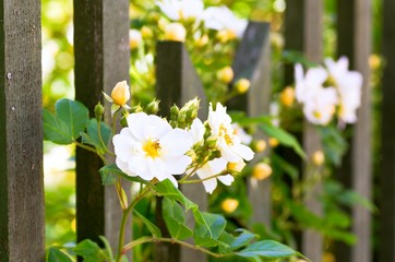 White climbing rose grows at a wooden fence.
