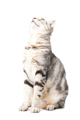 cute Cat looking upward isolated over white background