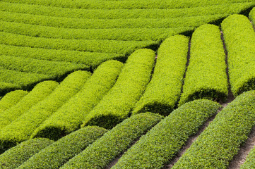 Growing green tea