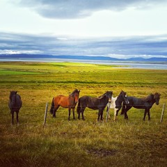 Free horses in Iceland