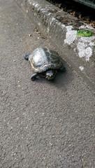 Turtle in Battersea Park