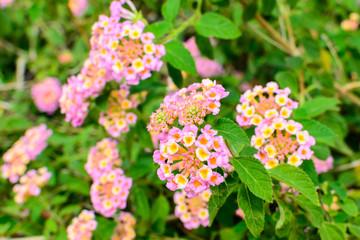 Lantana camara, Linn flowers