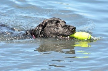 Head of black labrador swimming