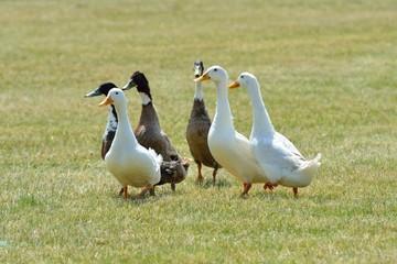 Small group ducks