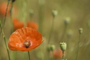 red poppy wildflower grassland
