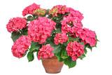 Pink Hortensie, hydrangea, isolated