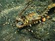 Leinwanddruck Bild - Lobster
