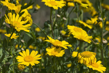 Group of Yellow Marguerite Daisies