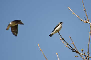 Tree Swallows Landing in a Tree