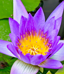 Purple lotus flower with yellow pollen.