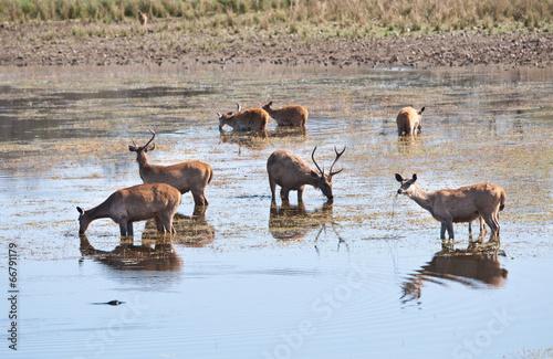 Fotobehang Antilope swamp deer standing in the lake drinking water