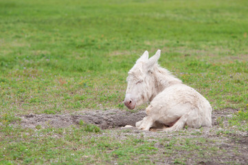 young white donkey lying lazy in the meadow