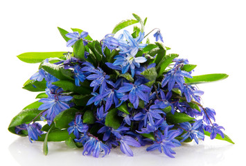Gentle blue scilla with drops the waters