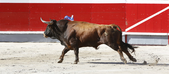 bull in the bullring