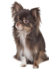 chihuhahua in the studio on a white background