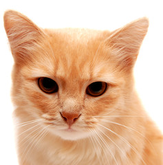 Beautiful ginger cat