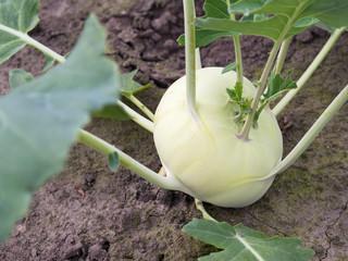 Gemüsebau - Kohlrabi
