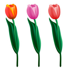 Tulips colorful.Realistic vector illustration.