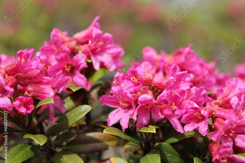 Leinwanddruck Bild Alpenrose (Rhododendron hirsutum)
