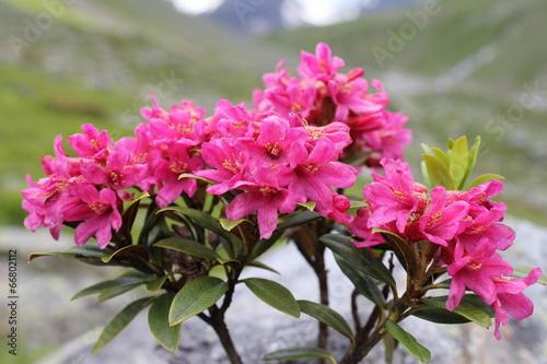 Foto Spatwand Rozen Alpenrose (Rhododendron hirsutum)