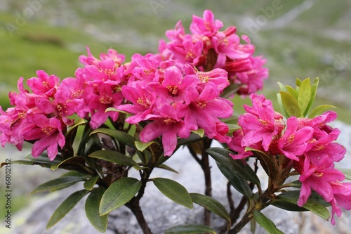 canvas print picture Alpenrose (Rhododendron hirsutum)