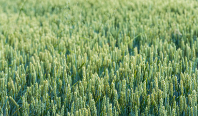 Ripening wheat from close